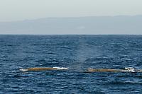 Baird's Beaked whale, Berardius bairdii, 2 at surface, Monterey Bay National Marine Sanctuary, California, USA, East Pacific Ocean