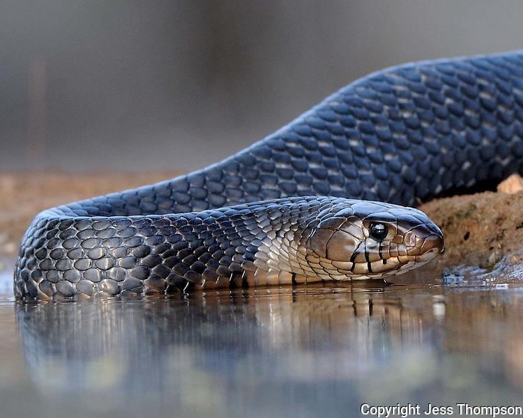 Indigo Snake, Dos Venadas Ranch, South Texas