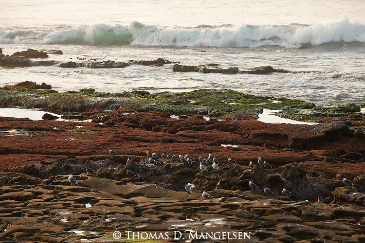 Gulls stand on the shore at low tide in La Jolla, California