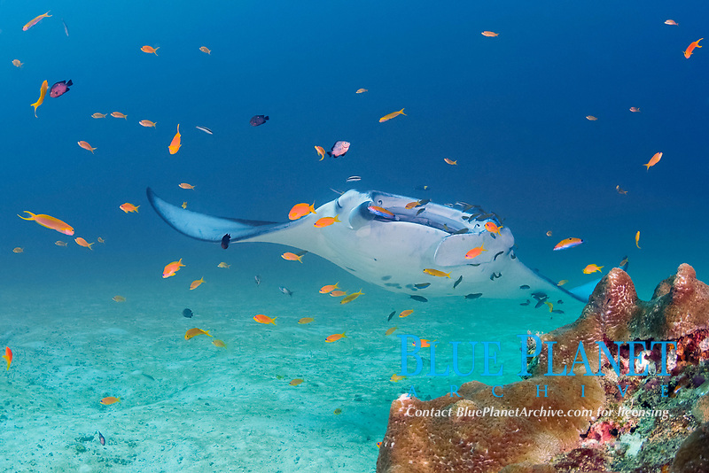 reef manta ray, Mobula alfredi, being cleaned by moon wrasses, Thalassoma lunare, initial phase two-tone wrasses, Thalassoma amblycephalum, and blue-streak cleaner wrasses, Labroides dimidiatus; orange basslets (anthias) do not participate in cleaning; Sunshine Thila, Lankan, North Male Atoll, Maldives, Indian Ocean