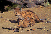 COUGAR/MOUNTAIN LION/PUMA..Four week old young play behavior with magpie feathers on ground..Summer. Rocky Mountains. (Felis concolor).