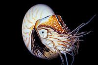 chambered nautilus, Nautilus pompilius, (c) South Pacific Ocean
