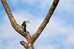 Oriental Pied-Hornbill<br /> (Anthracoceros albirostris) male, Kinabatangan River, Sabah, Borneo, Malaysia