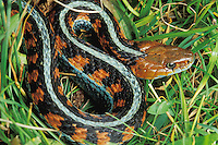 California red-sided garter snake, Thamnophis sirtalis infernalis.  Point Reyes National Seashore, California