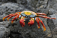 Sally Lightfoot Crab (Grapsus grapsus), adult, Española Island, Galapagos, Ecuador, South America