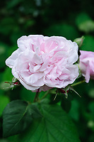 Rosa Great Maiden's Blush