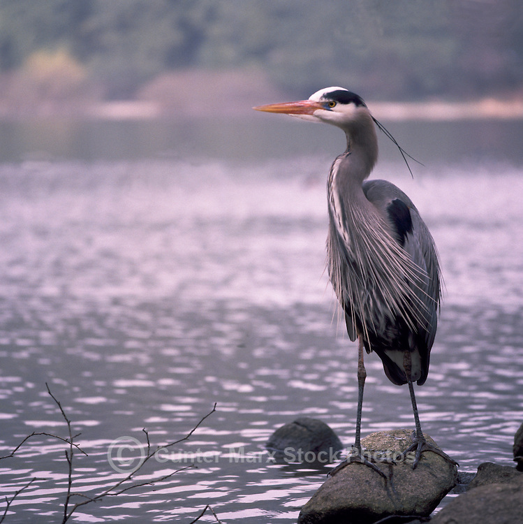 Great Blue Heron (Ardea herodias) standing on Rock beside Lake