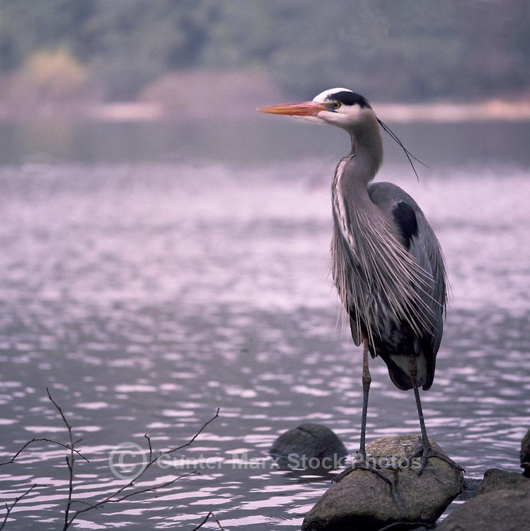 Great Blue Heron (Ardea herodias) standing on Rock beside Lake