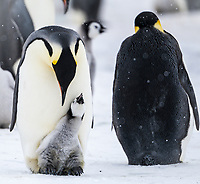Snow Hill Island, Antarctica. Emperor penguin parent with chick on feet begging.
