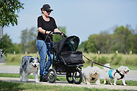 """Patti Deaton walks Tuesday, September 15, 2020, Bob Marley (from left), an Australian Shepherd, Sofi and Bear, both Bichon Frise, near C.L. """"Charlie"""" and Willie George Park in Springdale. Deaton says she brings the stroller because Sofi often chooses to ride than walk on their daily outing. Check out nwaonline.com/200916Daily/ and nwadg.com/photos for a photo gallery.<br /> (NWA Democrat-Gazette/David Gottschalk)"""