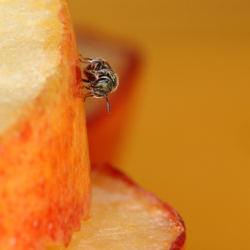 Mining or 'Solitary' Bee feeding on slices of apple.<br /> Unlike honeybees, mining or 'Solitary' bees are solitary and do not form large, socially organized nests. As their name suggests, mining bees dig single nests in the soil.