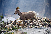 A bighorn sheep stands near the Grinnell Glacier in the Many Glacier section of Glacier National Park, Montana, USA.