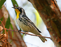 Adult male yellow-throated warbler in willow tree