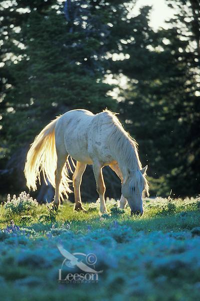 "White stallion (named ""Cloud"" in PBS documentary on wild hores),  Pryor Mountain Wild Horse Refuge, Montana.  Summer..(Equus caballus)"