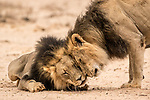 Pictured:  A pair of male lions share a tender moment.<br /> <br /> Heart-warming pictures capture the tender moments between animals in the wild.  Lions are caught on camera fondly bowing their heads towards each other as a lioness affectionately pulls another closer.<br /> <br /> A pair of elephants also lovingly embrace each other with their trunks as they dip in the water while spotted cheetahs nuzzle together, licking the rain off their faces.  Wildlife photographer William Steel captured the sweet moments between the animals at several national parks in Botswana - including Mabuasehube, Chobe National Park and Khutse Game Reserve.  SEE OUR COPY FOR DETAILS.<br /> <br /> Please byline: William Steel/Solent News<br /> <br /> © William Steel/Solent News & Photo Agency<br /> UK +44 (0) 2380 458800