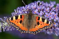 Kleiner Fuchs, Blütenbesuch, Nektarsuche auf Sommerflieder, Schmetterlingsflieder, Buddleja, Aglais urticae, small tortoiseshell