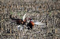 Sparring Ring-necked Pheasants, Ringneck Ranch, Tipton, Kansas
