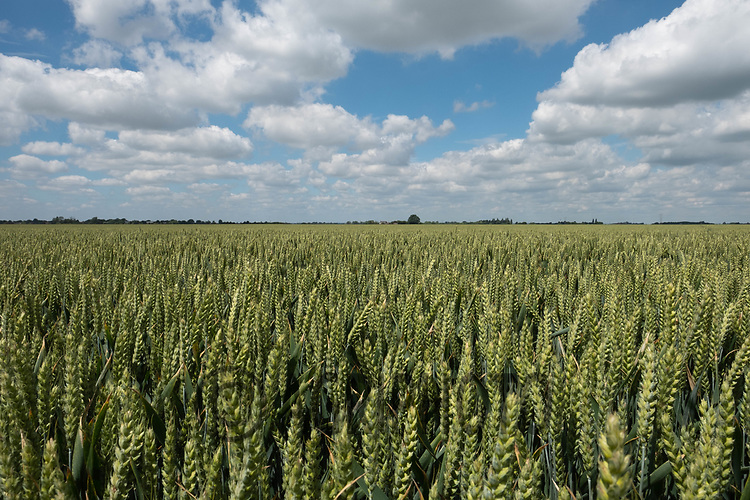 Winter wheat<br /> ©Tim Scrivener Photographer 07850 303986<br />      ....Covering Agriculture In The UK....