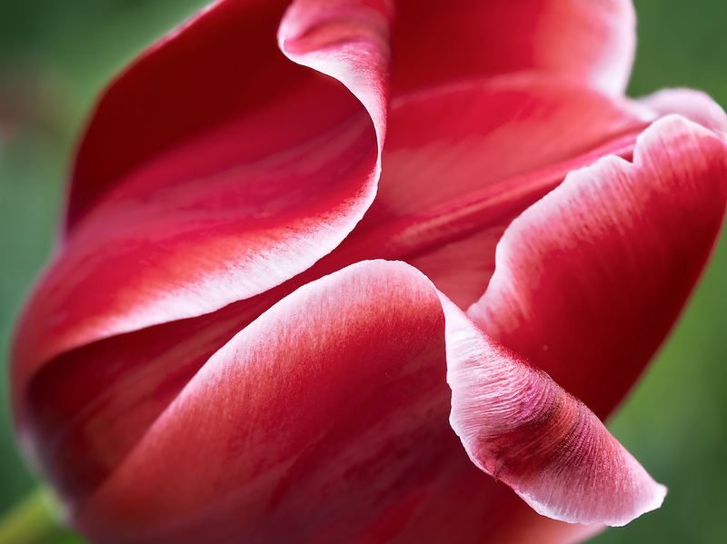 Close up of red tulip flower