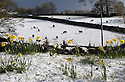 26/04/16<br /> <br /> Sheep and young lambs are framed by springtime daffodils near Alstonefield in the Staffordshire Moorlands after snowfall in the Peak District this afternoon.<br /> All Rights Reserved: F Stop Press Ltd. +44(0)1335 418365   www.fstoppress.com.