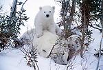 Polar bear and cubs, Churchill, Manitoba, Canada