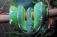 Animais. Reptis. Cobra Periquitambóia ( Corallus caninus). Instituto Butantan. SP. Foto de Manuel Lourenço.