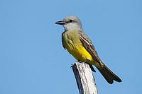 Tropical Kingbird (Tyrannus melancholicus). Yucutan, Mexico. February.