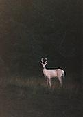 Albino white-tailed deer (Odocoileus virginianus) in velvet.