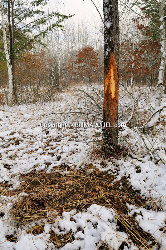 00273-044.08 White-tailed Deer Hunting: Buck rub on large jack pine tree and scrape next to it in fresh snow.  Rut, breed, hunt.paw, earth.