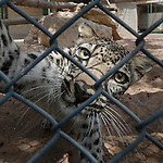 Male Arabian Leopard (Panthera pardus nimr) at the Arabian Wildlife Centre & captive-breeding project, Sharjah, United Arab Emirates. April 2013