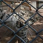 Male Arabian Leopard (Panthera pardus nimr) at the Arabian Wildlife Centre & captive-breeding project, Sharjah, United Arab Emirates. April 2013
