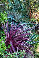 Cordyline australis 'Pink Stripe' (Pink Striped Grass Palm), Jim Bishop and Scott Borden garden