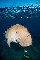 Dugong, Sea Cow, swimming to the surface to breathe, Gnathanodon Speciosus, Egypt, Red Sea, Indian Ocean