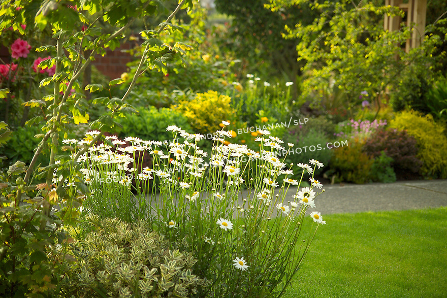 An organic garden full of summer perennials and foliage shrubs planted as a buffer between the public sidewalk and private front yard of the homeowner, glows in the early morning Pacific Northwest (NW) summer sunshine.
