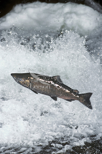 Chinook salmon or King Salmon (Oncorhynchus tshawytscha) leaping falls during migration to its spawning area.  Pacific Northwest.