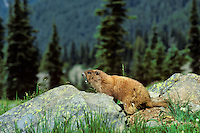 Olympic Marmot (Marmota olympus) making warning whistle.  Olympic National Park, WA.  Summer.