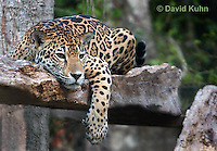 0522-1117  Goldman's Jaguar, Belize, Panthera onca goldmani  © David Kuhn/Dwight Kuhn Photography