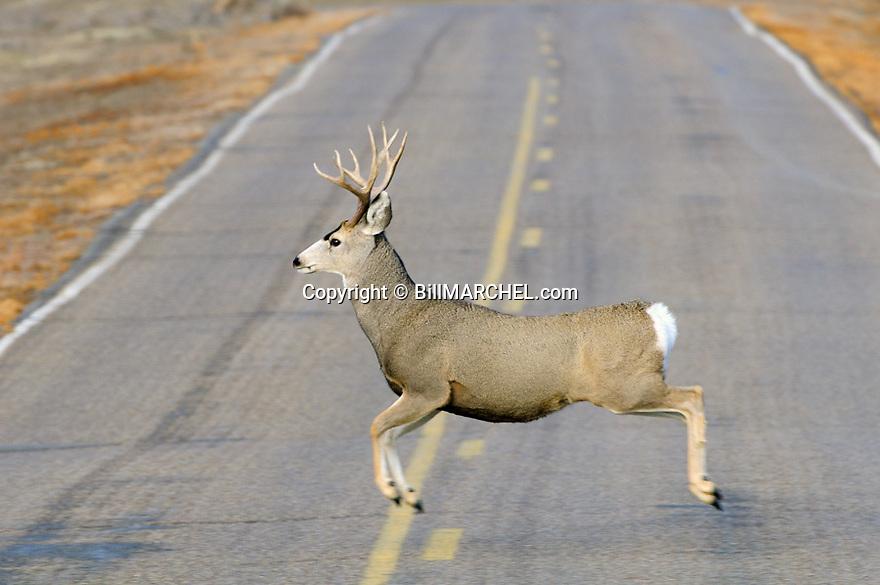 00270-009.19 Mule Deer buck is bounding across highway during fall rut.  Hunt, breed, roadkill, travel, auto.
