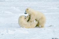 polar bear cubs, Ursus maritimus, playing in snow, Churchill, Manitoba, Canada, Arctic, polar bear, Ursus maritimus