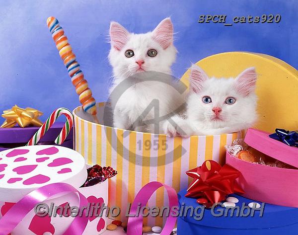 Xavier, ANIMALS, REALISTISCHE TIERE, ANIMALES REALISTICOS, cats, photos+++++,SPCHCATS920,#a#, EVERYDAY