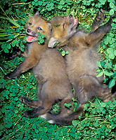 Two red fox kits, Vulpes fulva, playing  in clover, Missouri, USA