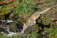 Wild Coyote (Canis latrans)-- fishing in a stream for cutthroat trout Rocky Mountains.  Western U.S., June.