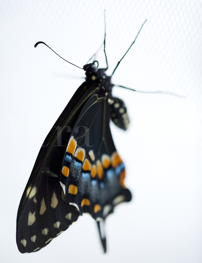 Black Swallowtail Butterfly sitting on white net.