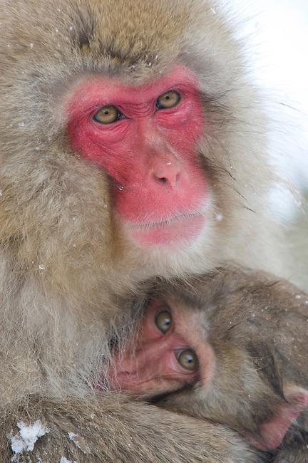 JAPAN, NEAR NAGANO, JIGOKUDANI, SNOW MONKEYS (Japanese Macaque), MOTHER AND BABY HUDDLING IN COLD WEATHER
