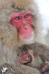 JAPAN, NEAR NAGANO, JIGOKUDANI, SNOW MONKEYS (Japanese Macaque), MOTHER AND BABY HUDDLING IN COLD WEATHER