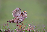 572110249 a wild lesser prairie chicken tympanuchus pallidicintus displays and struts on a lek on a remote ranch near canadian in the texas panhandle