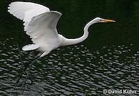 0111-0944  Flying Great Egret, Ardea alba  © David Kuhn/Dwight Kuhn Photography