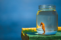 Beautiful orange seahorse (hippocampus) captured in a jar, on a green and yellow boat with ocean background, in Porto de Galinhas, Ipojuca, Brazil