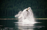 Humpback whale breaches, Pt. Adolphus, Alaska, USA