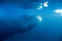 Bowhead whale, balaena mysticetus, UW, ice floe edge, Arctic Ocean, Canada